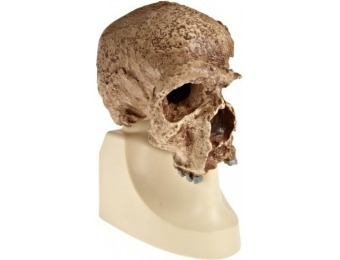 65% off 3B Scientific Steinheim Anthropological Skull Model