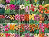 75% off Bloomsz Collectors Masterpiece Tulip Bulbs (50-Pack)