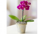43% off Mini Purple Phalaenopsis Orchid in Tin Single
